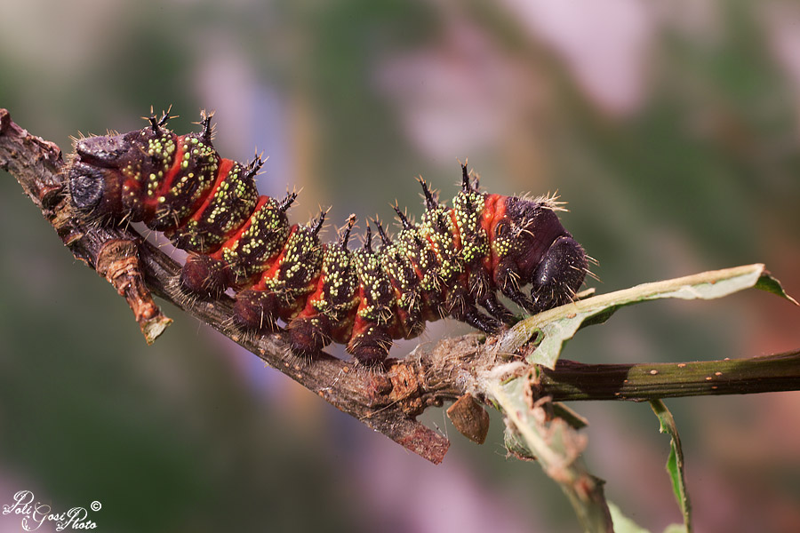 Imbrasia krucki - Colorazione dei bruchi ...