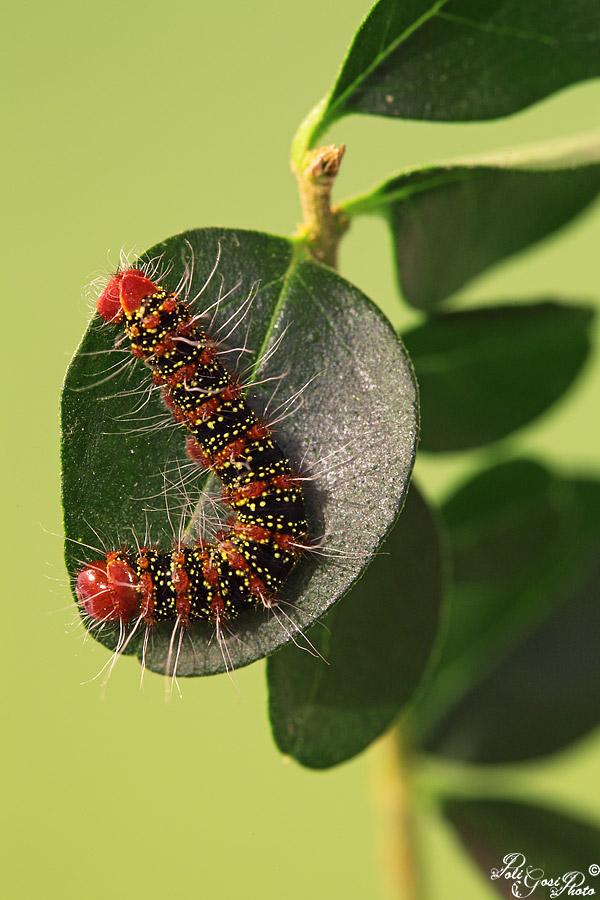 Cricula trifenestrata - Colorazione dei bruchi ...