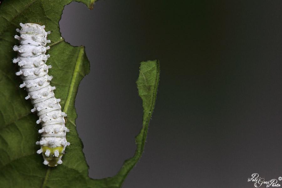 Samia ricini - Colorazione dei bruchi ...