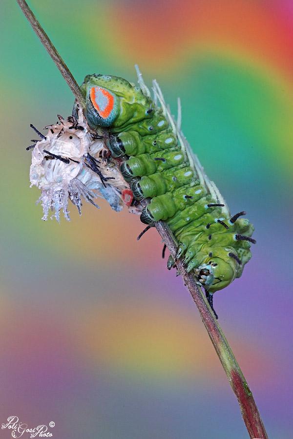 Attacus atlas - Colorazione dei bruchi ...